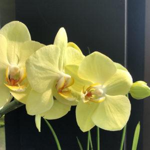 Orchides Jaunes/Vertes