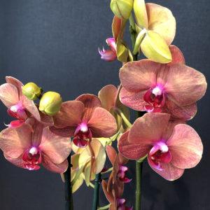 Orchidées Oranges/Rouges